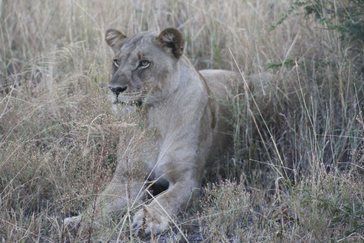 Leoa no Madikwe