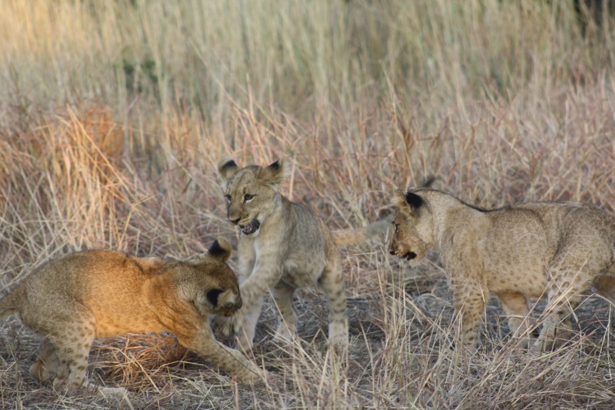 Filhotes de leão no Madikwe