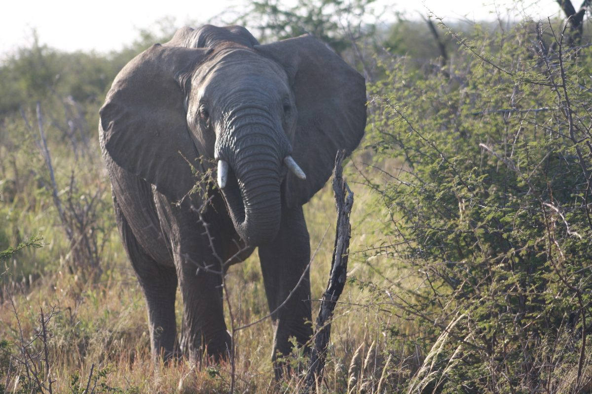Elefante no Madikwe