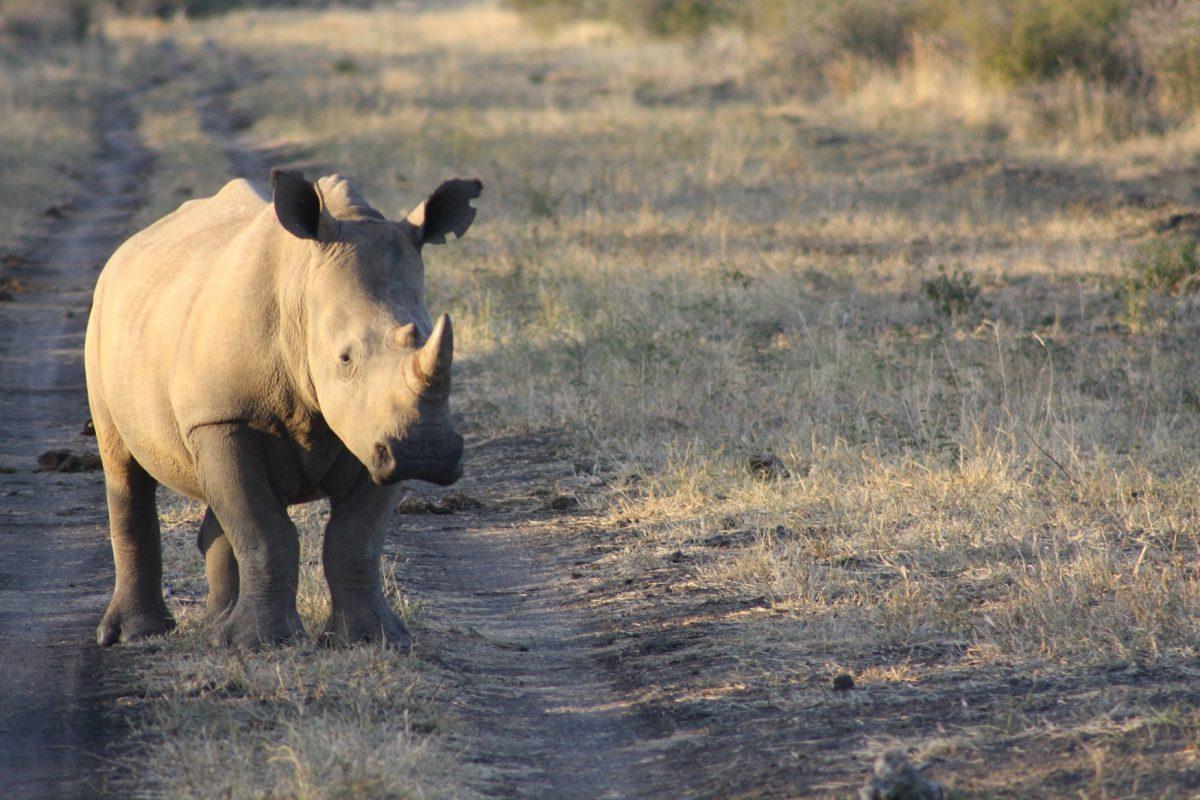 Rinoceronte no Madikwe