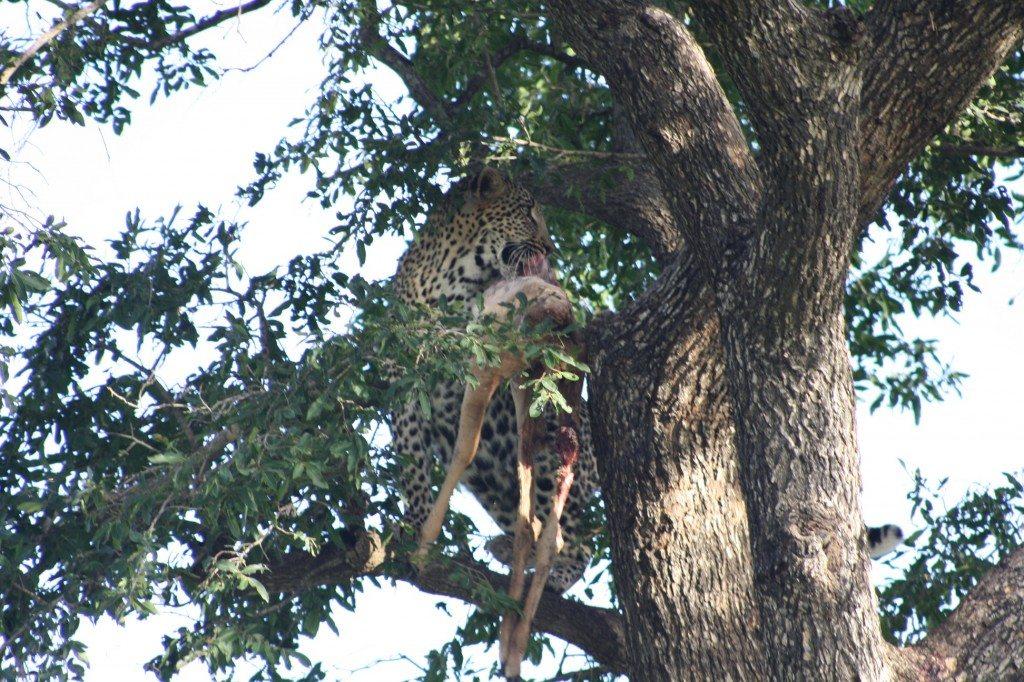 leopardo comendo caça no kruger park
