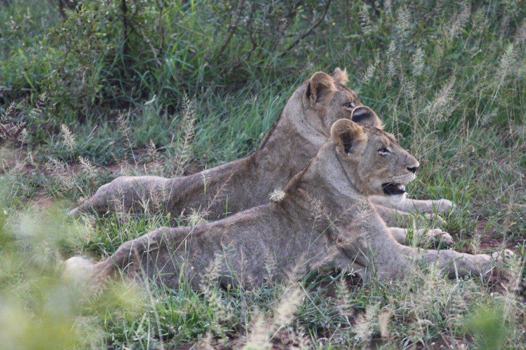 leoas no kruger park