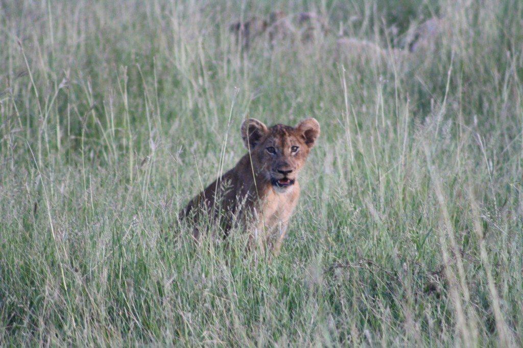 filhote de leão no kruger park