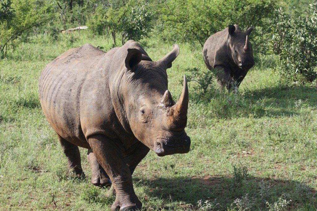 rinocerontes no kruger park