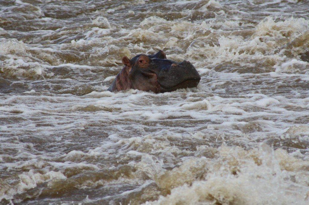 hopopótamo no kruger park