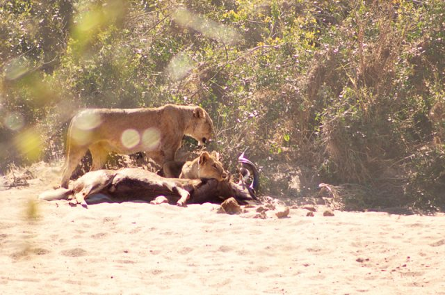 lioness-killing-kudu no kruger park