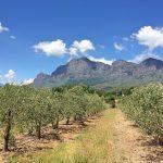 parreiras de vinhos em vinhedo na africa do sul em franschhoek